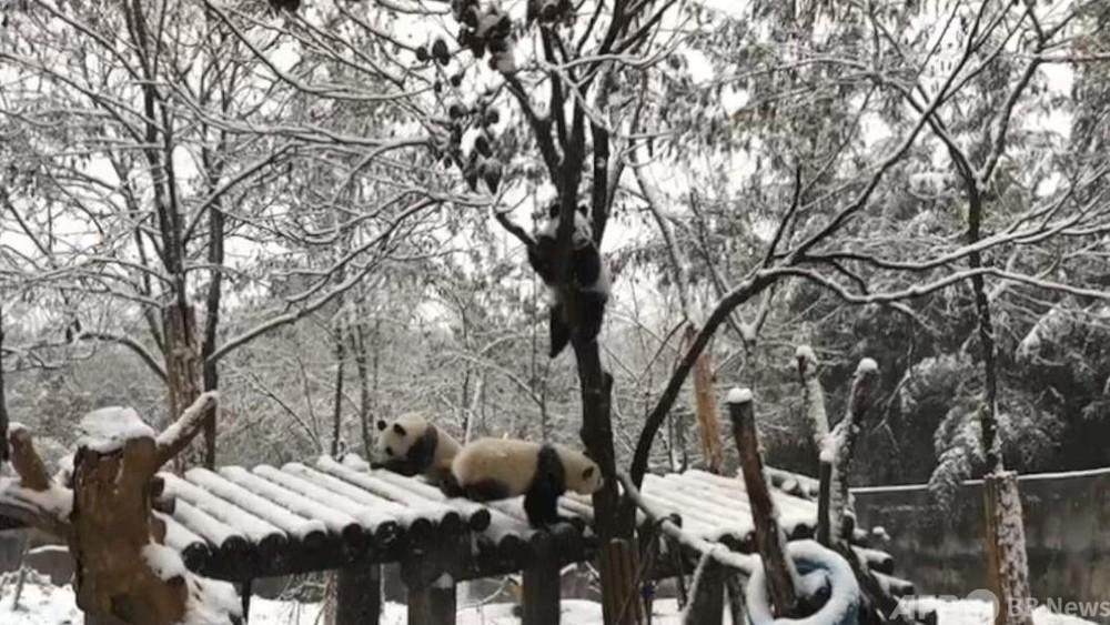 雪の中で大喜び、パンダの楽しい冬の日々