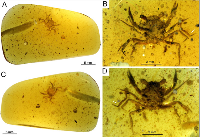 【画像】1億年前のカニが発見されるwwwwwwwwwwwwww