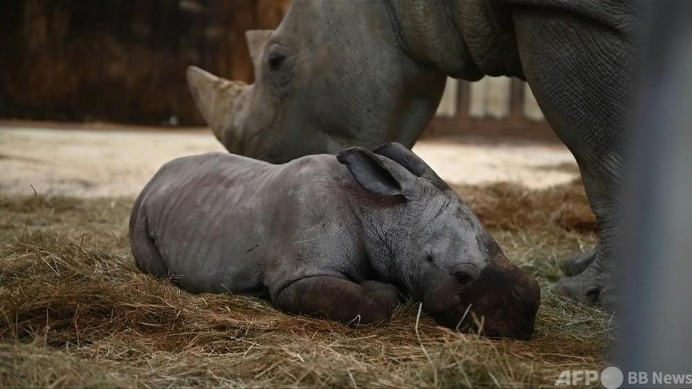 動画:サイの赤ちゃん「モスル」が仲間入り、仏動物園