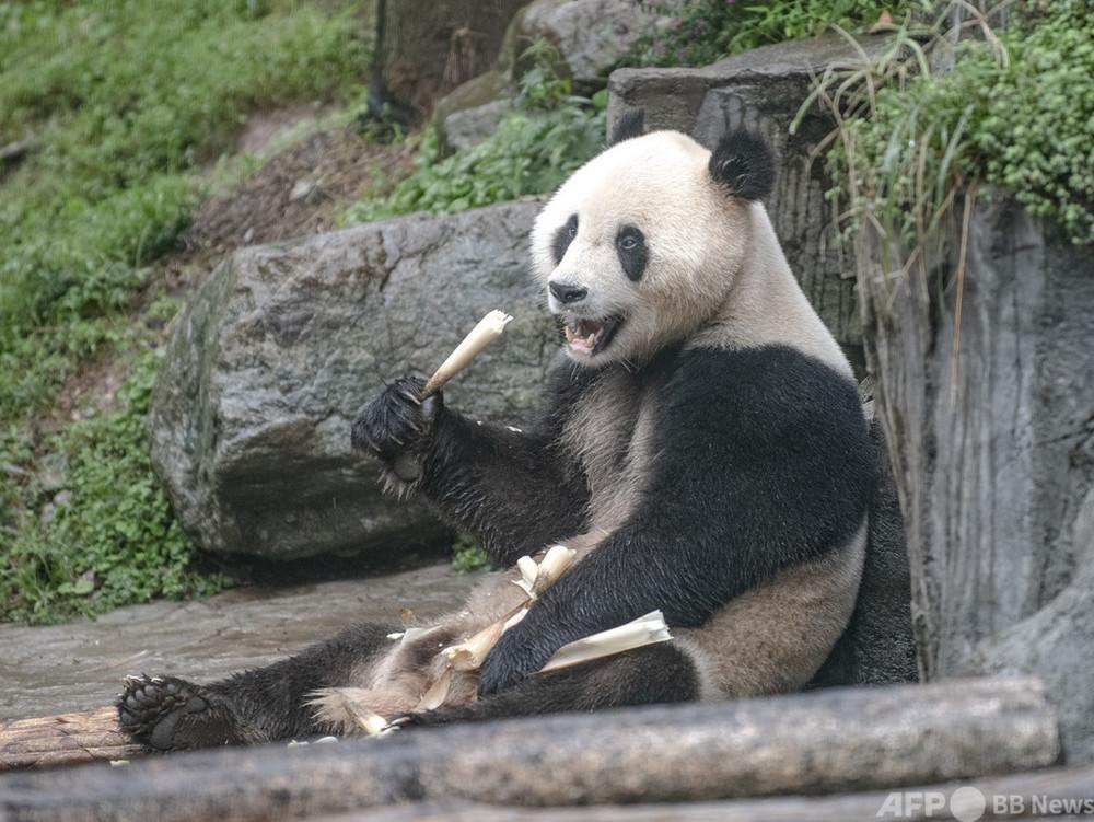 「絶滅危惧種」から「危急種」に引き下げ 中国の人工繁殖ジャイアントパンダが良質に成長